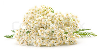 yarrow plant with white flowers