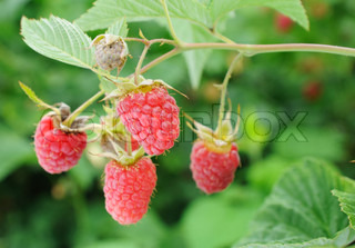 four ripe red raspberries on branch