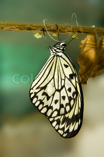 Butterfly on a branch after emerging from an chrysalis