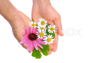 Hands of young woman holding herbs – echinacea, ginkgo, chamomile