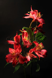 Stargazer lilies in shades of red, orange and yellow