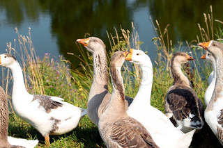 The gray and white geese near a pond on the farm
