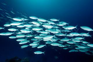 En skole af stribet Makrel fodring
