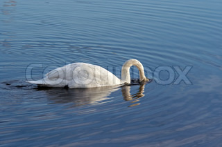 swan with head under water