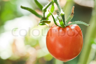 one juicy and ripe tomato in the greenhouse