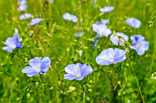 Blue wild flowers on the background of bright green grass
