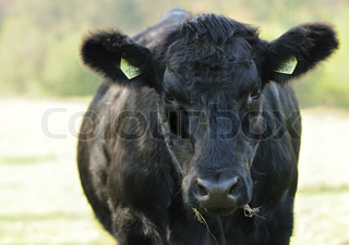 Closeup image of black cow head.