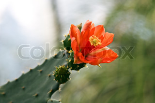 Bright orange flower on the cactus (Zurich botanical garden)