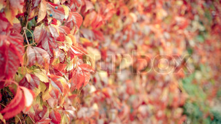 Red leaves of virginia creeper in autumn