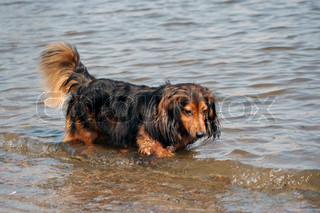 dachshund in the river
