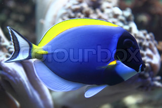 nice blue fish from the coral sea