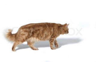 sideways shot of a red Maine Coon cat walking away in white back with shadow