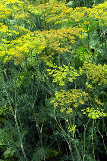 green dill as nice natural herbs background