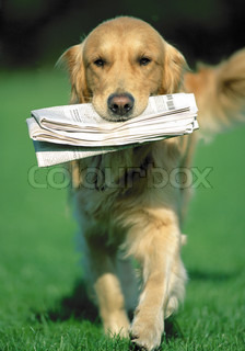 golden retriever dog bringing a newspaper in mouth