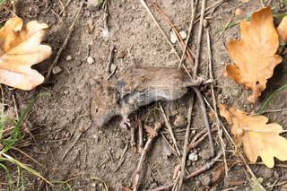lille død mus som depressive efterår baggrund