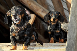 Two duchshunds (adult and puppy) on an attic of the rural house