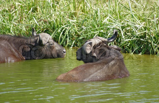 African Buffalos waterside