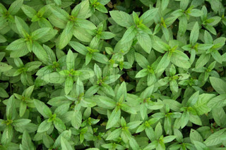 detail of green leaves as nice natural background