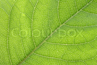 green leaf texture as very nice natural background
