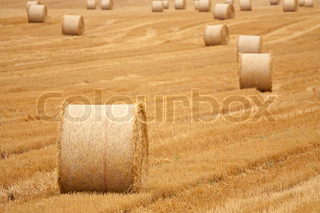Wheat field after harvesting - straw bales and rows