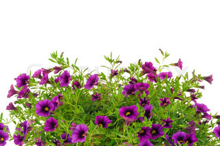 Petunia , Surfinia blomster over hvid baggrund