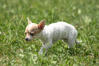 nice small chihuahua in the green grass