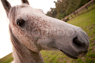 Roan horse head on a farm