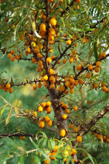 branches of sea-buckthorn berries with bright orange berries