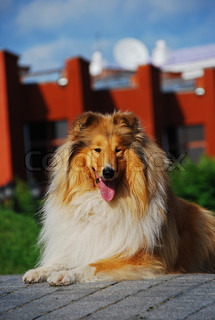 A collie is a distinctive type of herding dog, ultimately originating in Britain, especially in the upland areas of the north and west It is a medium-sized, fairly lightly-built dog with a pointed snout, and many types have a distinctive white pattern over
