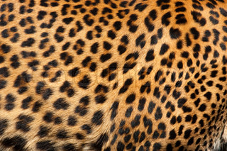 Close up pattern of Leopard Skin