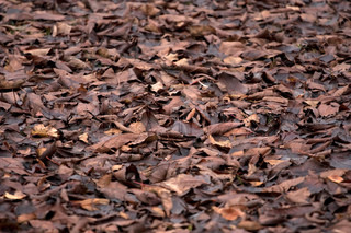 Leafage in the autumn - dead brown leaves