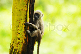Wild African monkey portrait, animal hanging on the tree over natural green background, Kenya national park reserve, safari