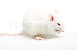 white laboratory rat isolated on white background