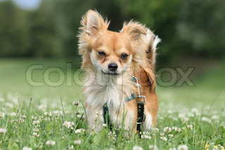 sweet small chihuahua in the green park