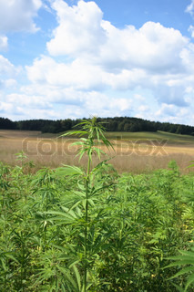 large marijuana field and the blue sky