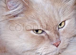 Smart face of persian cat wit yellow eyes