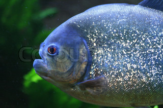 nice big piranha fish in natural environment