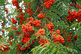 tree of rowanberry in town park