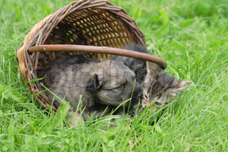 cat and dog in the basket (valentine day)