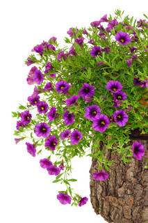 Petunia, Surfinia flowers on tree trunk over white background