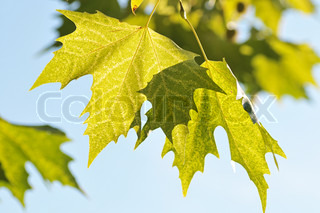 The maple leaves and the blue sky