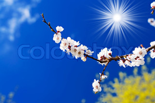 Apricot branch blossom and sun on the background of sky
