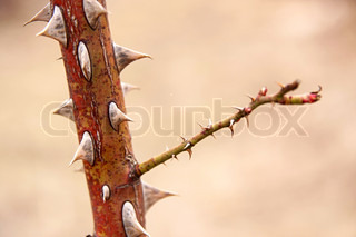 A stick with very sharp thorns closeup