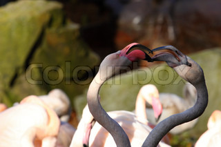 Flamingo, Closeup of couple of flamingos in love