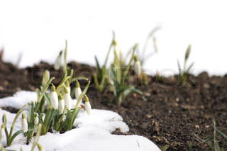 fresh white spring flowers in the last snow