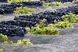 vineyards with typical round lava rock walls on Lanzarote, Canary Islands, Spain