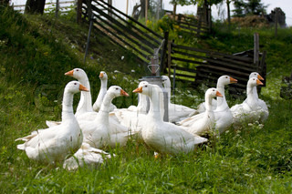 Domestic Geese in the garden in the countryside