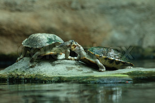 sweet kiss of two turtles and the green water