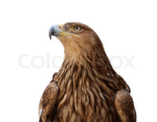 golden eagle isolated on white