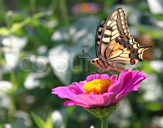 butterfly (Papilio Machaon) sitting on flower (zinnia)